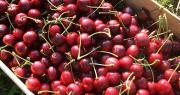 La France interdit la commercialisation sur son territoire de cerises fraîches provenant de pays où le diméthoate est utilisé. Photo : Allegra ANTOINE