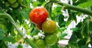 CBC Biogard a été primé pour son outil de confusion sexuelle utilisable contre Tuta absoluta en tomate hors-sol. Photo : photlook/Fotolia