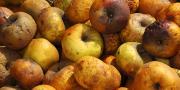 D'après Claude Coureau (CTIFL/La Morinière), il est actuellement difficile d'avoir des chiffres sur les pourcentages de pertes en fruits.