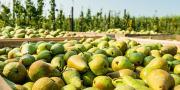 La récolte 2018 en poire serait inférieure de 2 % à celle de 2017. © Ruud Morijn/Fotolia
