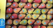 La nouvelle variété de poire bicolore CH201 C.O.V de Dalival, commercialisée sous la marque Fred, a obtenu une médaille de brone aux Sival Innovations 2019. Photo : Dalival