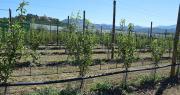 En France, la plantation de nouvelles variétés de poires, comme ici Fred®, crée du dynamisme sur le marché français demandeur avant tout de l'origine nationale. Photo : C.Even/Pixel6TM
