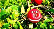 La garance, ou garance des teinturiers, est une plante de la famille des Rubiacées dont les racines sont utilisées pour leur capacité à teindre les textiles en rouge vif.