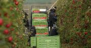 La plateforme automotrice multipalier Harvery AM-8 est utilisée pour différents travaux en verger : taille, mise en place de filets, éclaircissage et récolte de fruits. Photo : DR