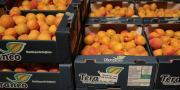 Avec un volume prévisionnel de 16 000 tonnes, la coopérative s'affirme comme le premier metteur en marché des fruits d'été du Roussillon.