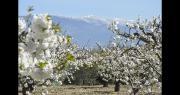 Parcelle de cerisier en fleurs au pied du mont Ventoux, dans le Vaucluse.