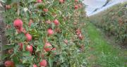 La floraison des pommiers Pink Lady s'est bien déroulée. Si la saison se poursuit bien, la récolte 2020 devrait être bonne. CP : C. Even/Pixel6TM