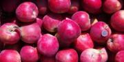 La récolte française de pommes atteindra seulement 1 150 000 tonnes.