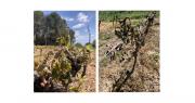 Dans l'Hérault, de nombreuses parcelles viticoles ont été touchées à 100% par les gelées des nuits des 6 et 7 avril. Dans les parcelles de fruits à noyaux et de pommiers, les dégâts sont aussi considérables. Photos chambre d'agriculture de l'Hérault