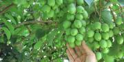 L'atout de la variété de kiwi Arguta est incontestablement sa rusticité : pas de nécessité d'interventions phytosanitaires. © Sofruileg-verger de Nergi