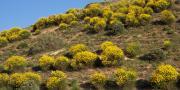"""Fin août, la bactérie """"Xylella fastidiosa"""" a été détectée sur des faux genêts d'Espagne (Spartium junceum) dans la région d'Alata, au nord d'Ajaccio."""