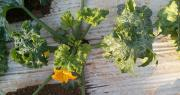 Les symptômes associés au ToLCNDV se manifestent surtout sur les jeunes feuilles qui s'enroulent, se recroquevillent et restent de petite taille. Photo : OEPP
