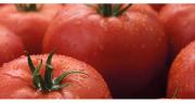 La variété de tomates résistante au ToBRFV de Syngenta sera commercialisée début 2021. Photo : Syngenta
