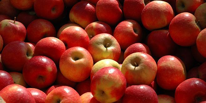 Participez à un moment privilégié d'échange avec les experts du CTIFL et les différents intervenants sur la thématique de la conservation des pommes.