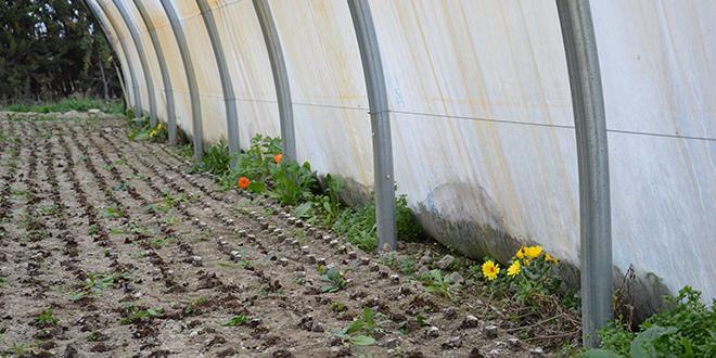 """Mi-février, sur l'exploitation de Serge Fluet, à Tarascon (13), les soucis sont encore en place sous le tunnel. Ils servent notamment de refuge aux """"Macrolophus pygmaeus""""."""