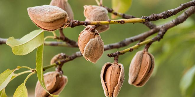 D'ici 2024, la Compagnie des Amandes prévoit de planter 2 000 ha de vergers d'amandiers et vise une production de 2 500 tonnes d'amandons par an. Photo : vikakurylo81/Adobe Stock