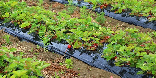 Ce questionnaire sur les techniques alternatives de protection des cultures s'adresse aux producteurs de légumes et de fraises. Photo ChiccoDodiFC/Adobe stock