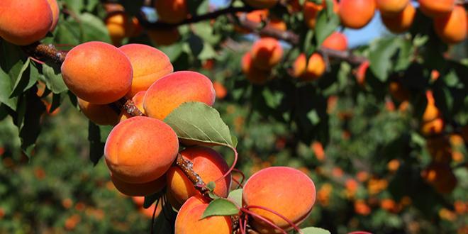 Le renouvellement de l'accord interprofessionnel sur le calibrage des abricots fait débat au sein des familles d'Interfel. Photo : Into the wild/Adobe Stock