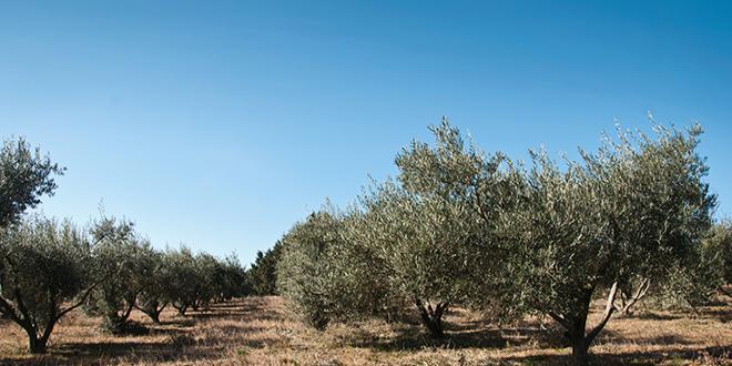 En cas de propagation à l'ensemble de l'UE, Xylella fastidiosa pourrait entraîner des pertes de production annuelles de 5,5 milliards d'euros, touchant 70 % de la valeur de production d'oliviers âgés dans l'Union. Photo : pixarno/Adobe Stock