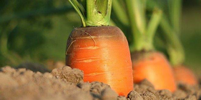 Arterris souligne s'investir afin de relocaliser la production de carottes destinée au marché du frais dit de « première gamme » sur le territoire du Sud-Est. Photo : Arterris