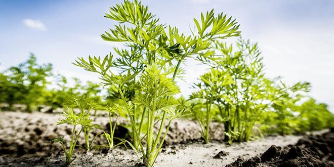 L'herbicide Stratos® Ultra, proposé par la société BASF, vient d'obtenir une extension d'usage sur carotte et scorsonère. Photo BASF