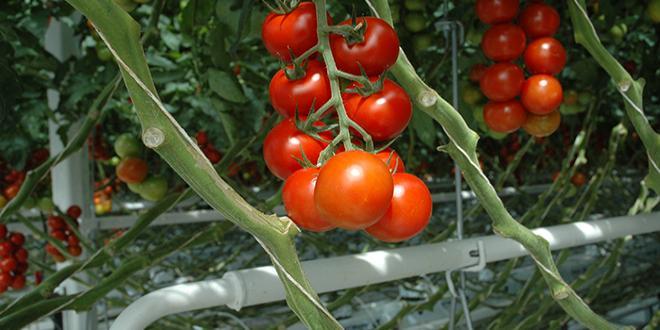 Au niveau du Cerafel, la tomate grappe et la ronde, jusqu'ici les références de la gamme, ont particulièrement souffert en 2018, les consommateurs s'en détournant de plus en plus au profit des tomates de diversification. Photo : D.Bodiou/Pixel6TM