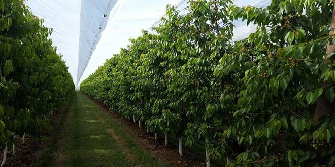 Comme d'autres fruits tels que le kiwi, la pêche ou la prune, la cerise peut subir d'importants effets négatifs dus aux précipitations excessives, de plus en plus courantes pendant la saison de maturation des fruits. Photo : Arrigoni