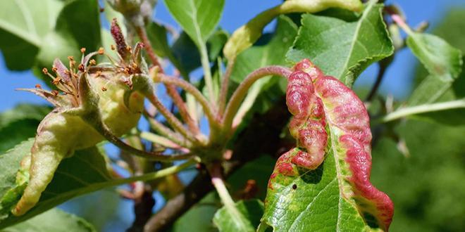Lors des prochaines rencontres du GIS Fruits, le point sera fait sur le comportement du puceron cendré du pommier, en présence de plantes aromatiques. Photo : DR